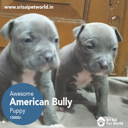 American Bully Puppies In Jalandhar
