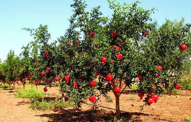 Agar Pohon Buah Tumbuh Subur, Perhatikan 3 Faktor Ini