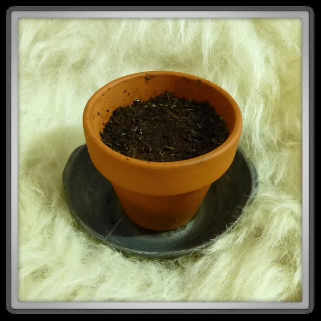 lavendel plantje