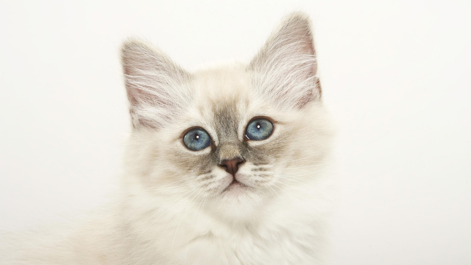 Images For: Beautiful White Cute Cat Pictures / Photos