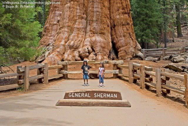 Resultado de imagen de Secuoya general Sherman