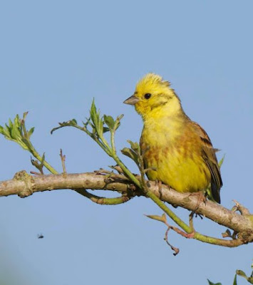 Yellowhammer - Ray Maddison
