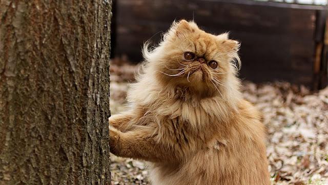 جميع المعلومات عن قطط الشيرازي وطعامها المفضل