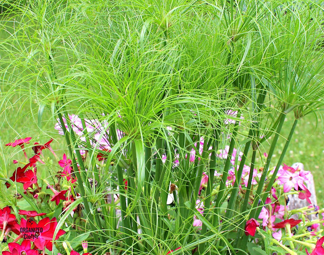 Prince Tut Annual Grass/Nicotiana Combo Laundry Tub Planter