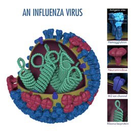 This is a picture of an influenza virus. Hemagglutinin (HA) is a surface protein of the virus that plays a role in allowing an influenza virus to enter and infect a healthy cell. Photo Credit: Dan Higgins, CDC.