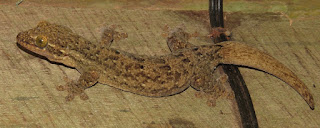 Thecadactylus rapicauda, Turnip-tailed Gecko,