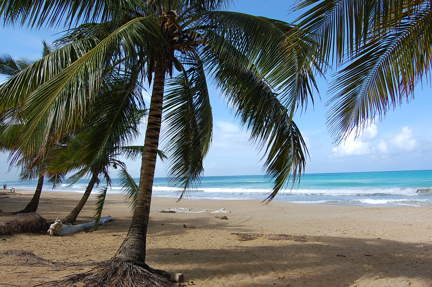Palm Trees On Playa Coson Dominican Republic