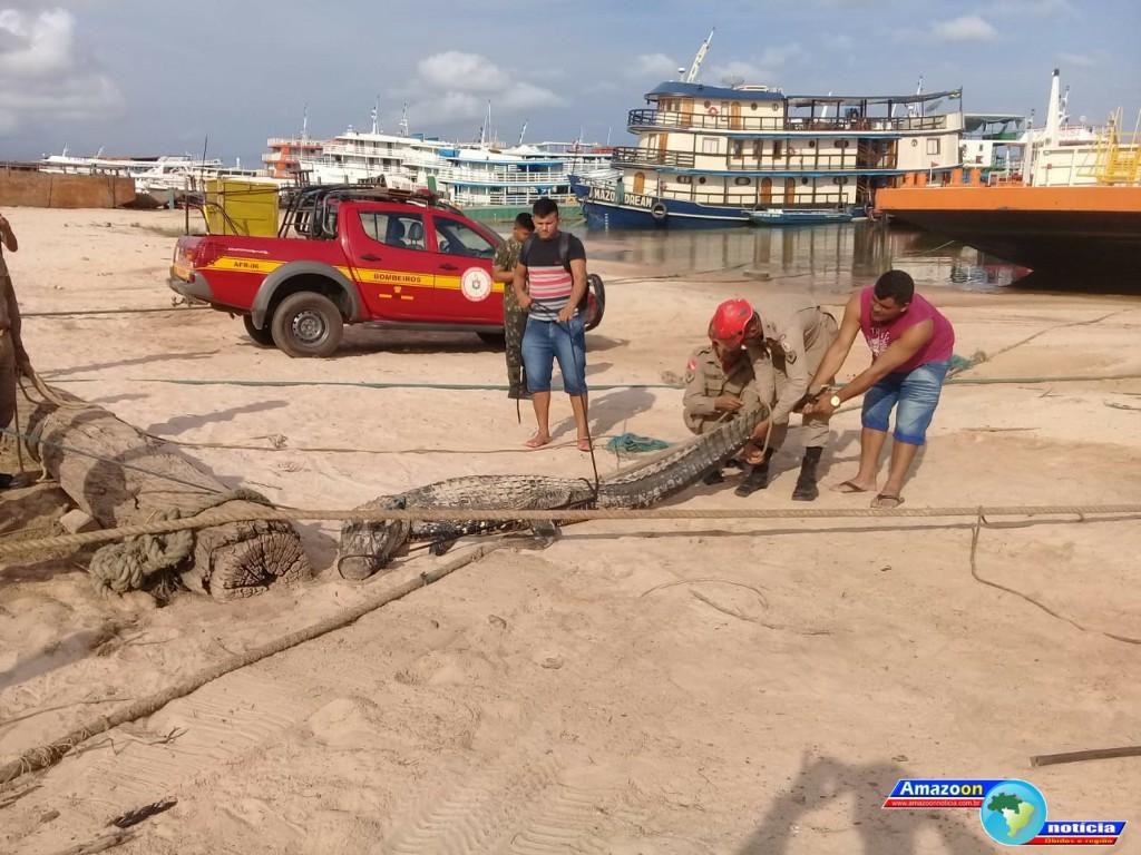 Jacaré de quase 3 metros faz 'visita surpresa' e é capturado às margens do rio Tapajós