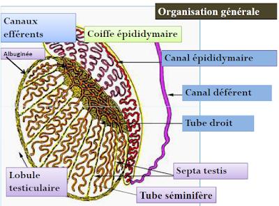 Spermatogenèse
