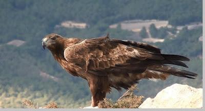 Aquila chrysaetos - berbagaireviews.com