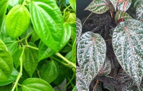 Manfaat daun sirih merah dan hijau untuk kesehatan