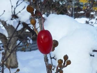 サンシュユの総苞片と赤い実