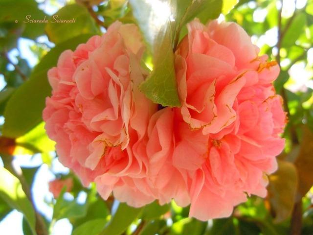 Camelie rosa
