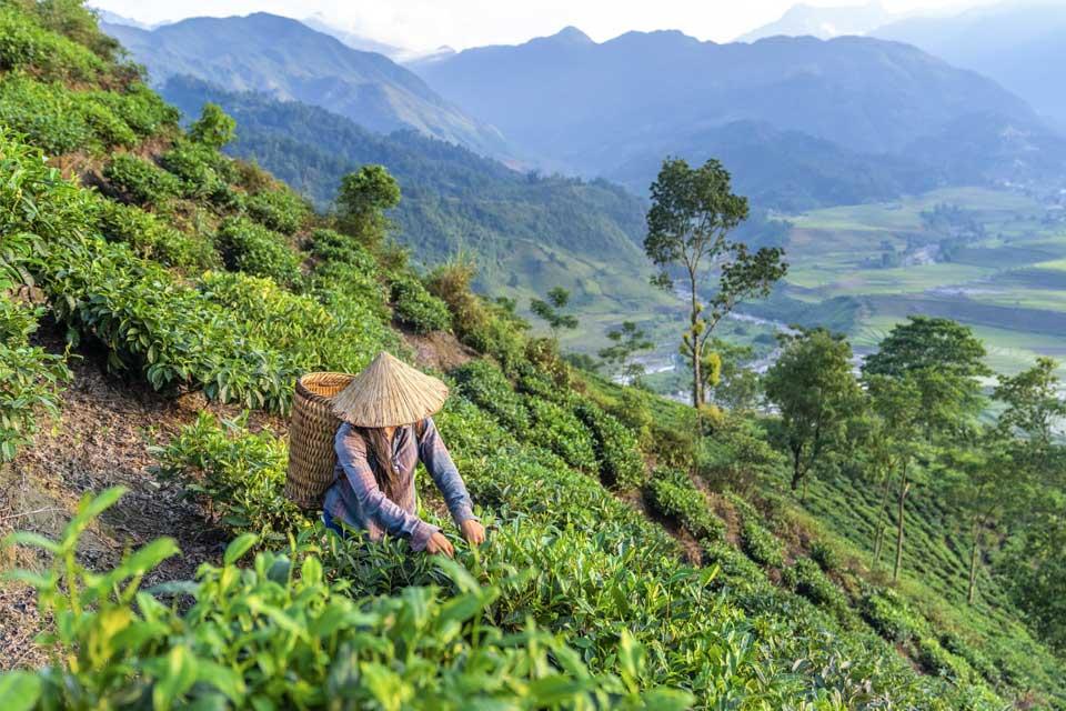 Экскурсия по чайным плантациям в Индии. Сборщики чая, Штат Керала