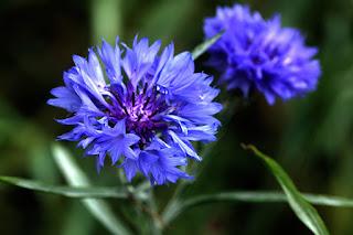 Close-up of a Blue Cornflower, aka Bachelor's Button