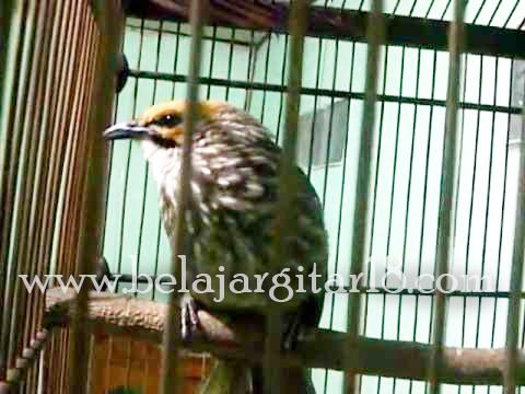 Cucak Rawa Kalimantan
