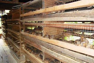 Ternak Persiapan Burung Puyuh Petelur Rumahan
