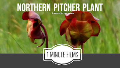 Video Northern Pitcher Plant