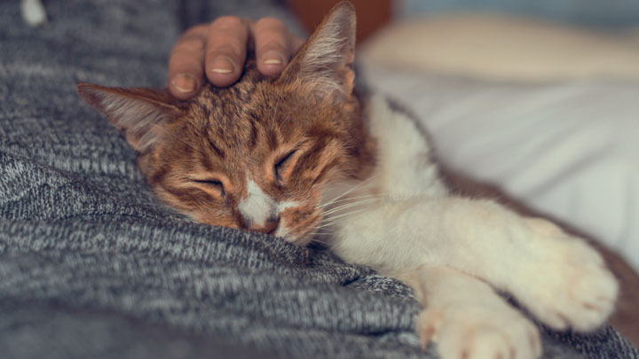 oral-flea-treatment-for-cats