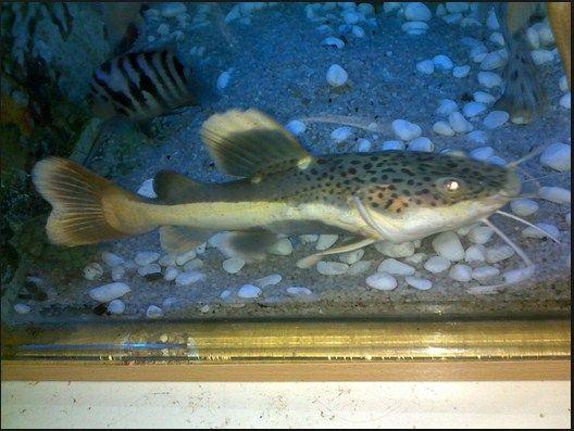 jenis ikan hias air tawar yang berumur panjang