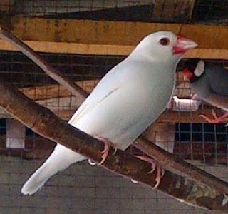 Ciri Ciri Fisik Dan Mengenal Dekat Jenis Burung Gelatik Putih Paling Lengkap
