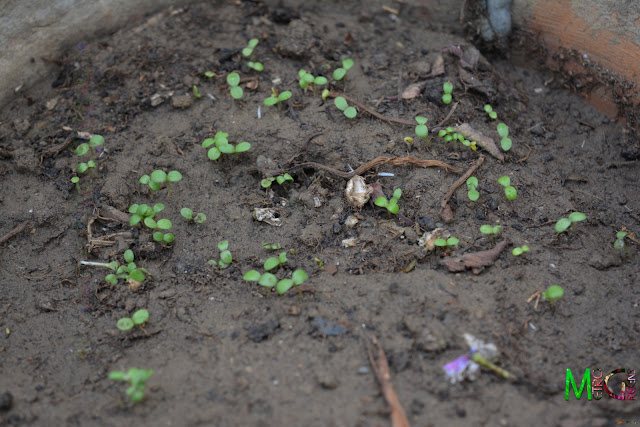 Metro Greens: The newly germinated marguerite daisy seeds - at 7 days from sowing the seeds.