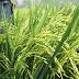 Pupuk K-BioBoost Tingkatkan hasil petani KSB (Kab. Sumbawa Barat)