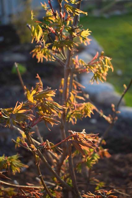 Azer palmatum 'Osakazuki'