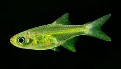 Ikan Neon Green Rasbora