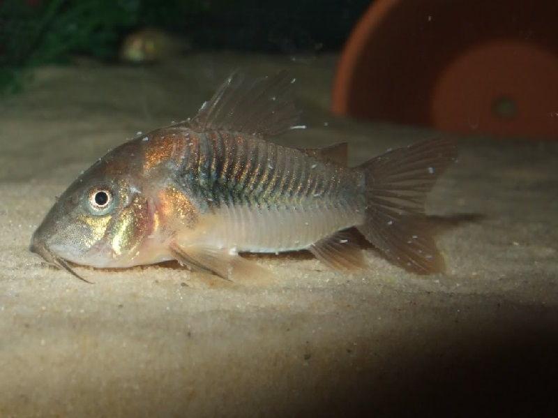 Gambar Ciri Ciri Ikan Hias sakit Atau Stres-Ikan Corydoras Sakot White Spot