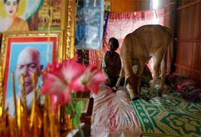 Cambodian Woman Ties Knot With A Cow Believing It's Her Reincarnated Husband