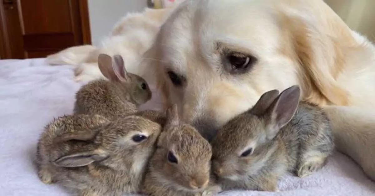 Video Shows 4 Adorable Baby Bunnies Who Now Think This Golden Retriever Is Their Mother