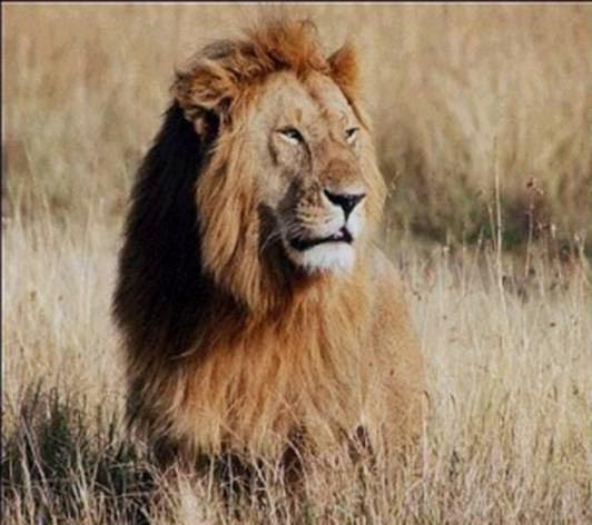 hond als leeuw