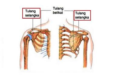 Gambar Tulang Selangka