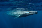 The Largest in the World, the Blue Whale is Much Larger than Dinosaurs