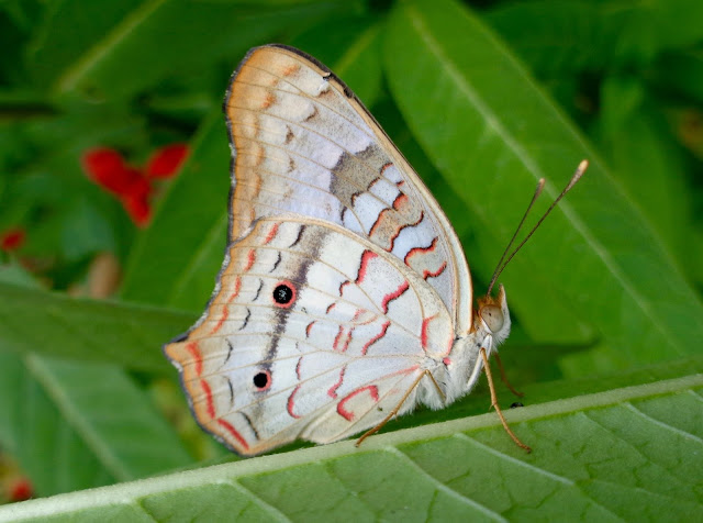 White peacock butterfly on milkweed