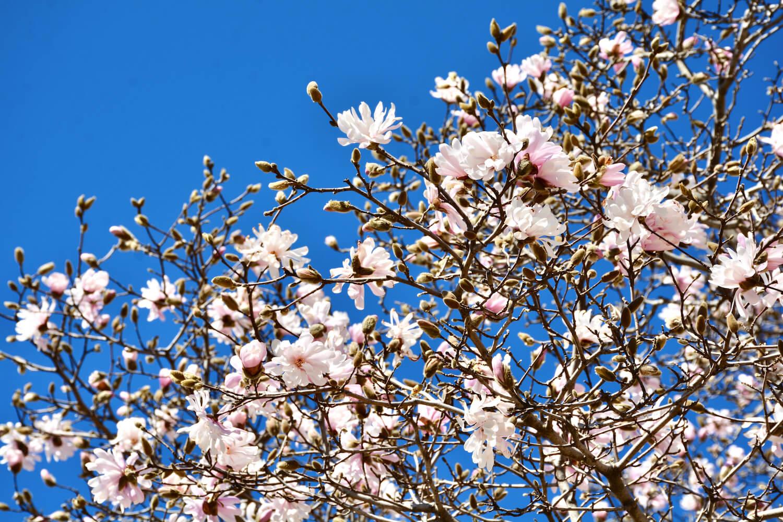 magnolia-magnolian-kasvatus