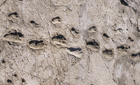 The Laetoli footprints