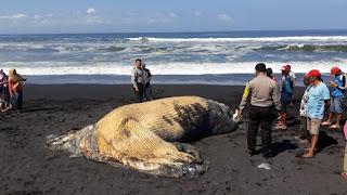 Ikan Paus Mati Terdampar di Pantai Bambang Lumajang