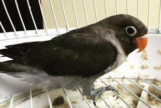 Kisaran Harga Terbaru Burung Lovebird Batman Dan Ciri Ciri Fisiknya