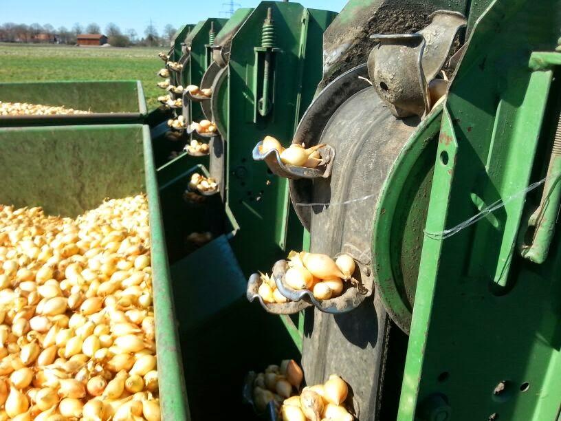 zwiebeln anbauen landwirt