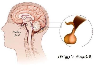 Pituitary Gland - Hypophysis