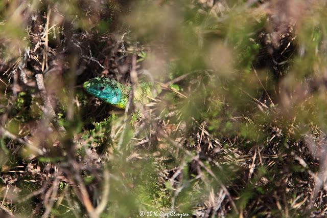 LEZARD VERT (Lacerta bilineata) mâle