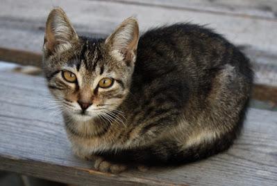 Karakter Kucing Siprus