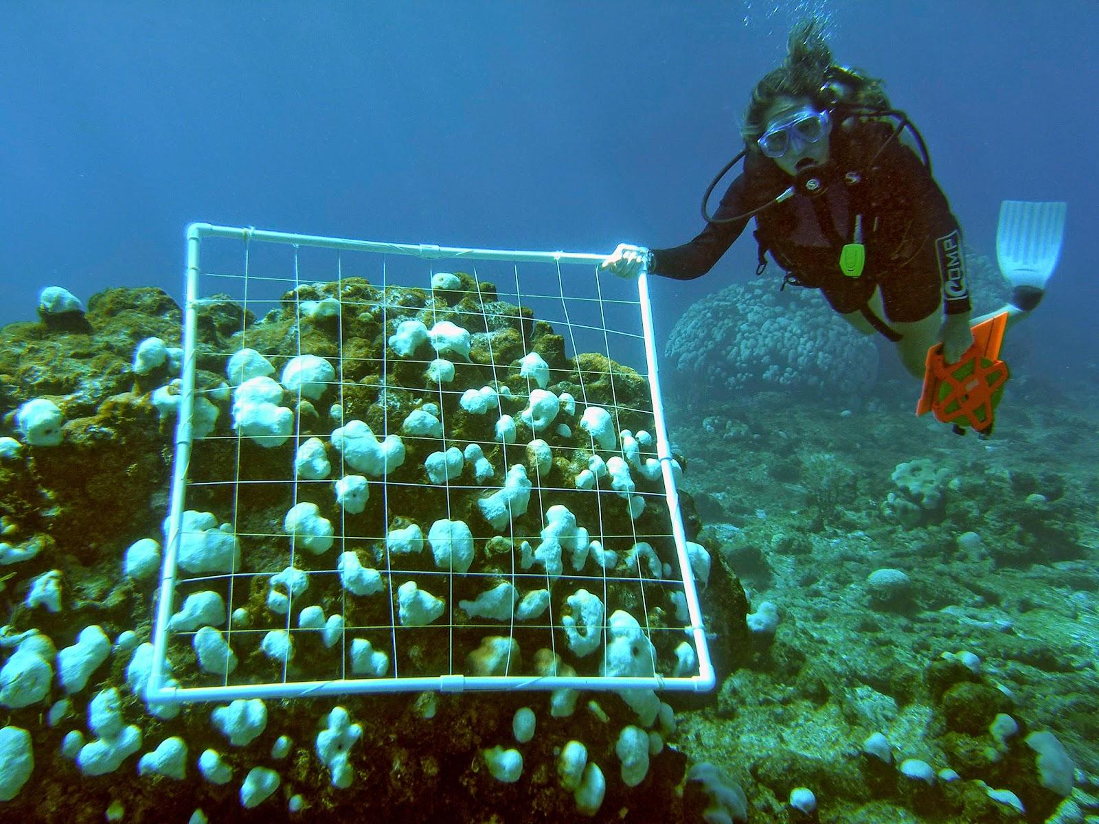 O aumento da temperatura da água causa o branqueamento dos corais, ou seja, os corais morrem, restando apenas a sua estrutura calcária branca (esqueleto). Crédito: NOAA