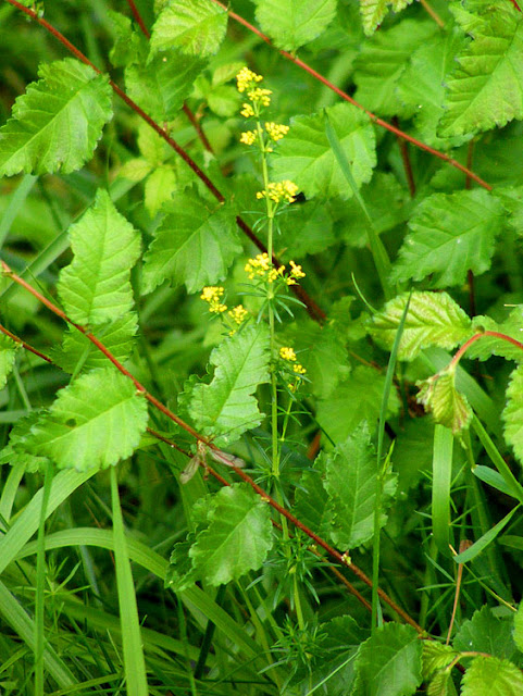 Lady's Bedstraw Galium verum.  Indre et Loire, France. Photographed by Susan Walter. Tour the Loire Valley with a classic car and a private guide.