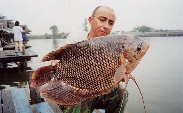 Jenis Ikan Gurame GALUNGGUNG