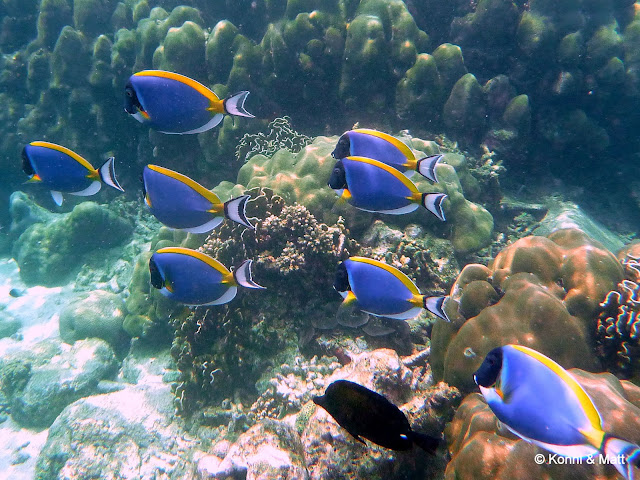 powder-blue surgeonfish, pulau weh, indonesia, sumatera