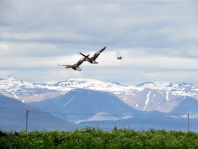 Geese in flight over Bakkatjörn Nature Reserve in Reykjavik Iceland