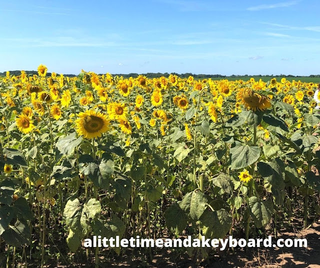 Photo moments with brilliant sunflowers abound.